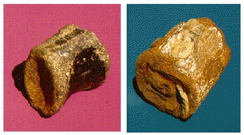 Fossil dinosaur vertebrae 3 and 4 inches longhave been found in Dickinson (left) and Plymouth counties, Iowa, respectively. These specimens likely came from hadrosaurs.