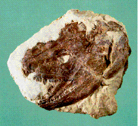 A fossil of an early Iowa amphibian