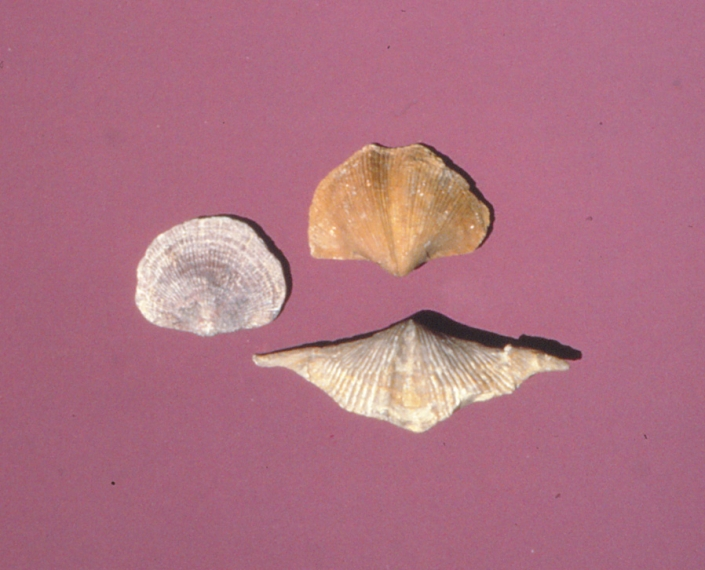 Three brachiopod fossils