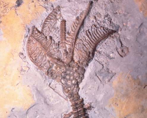 A fossil featuring what seems to be a spine and fins