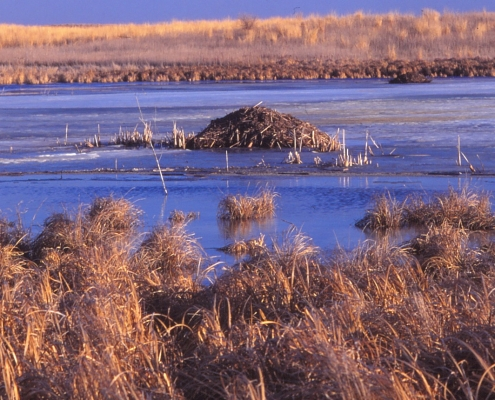 A landscape of a swamp with reeds and water