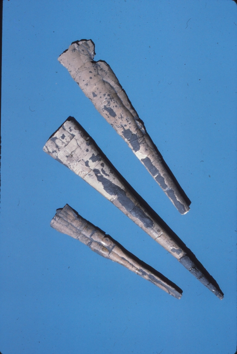 Cephalapod fossils on a blue background