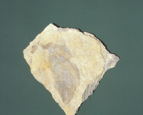 A clam fossil on a green background