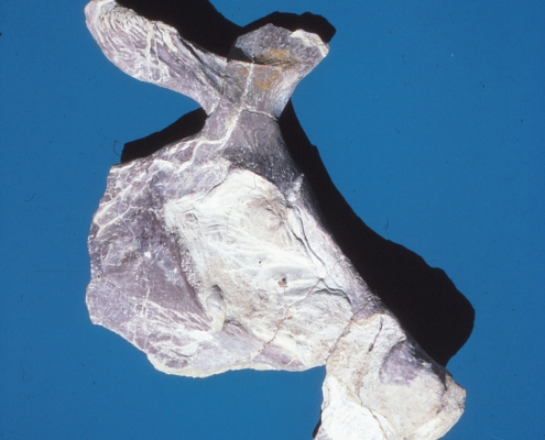 A pelvis fossil against a blue background