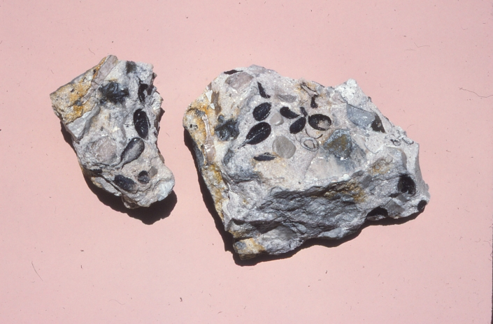 Two grayish stones with seed fossils