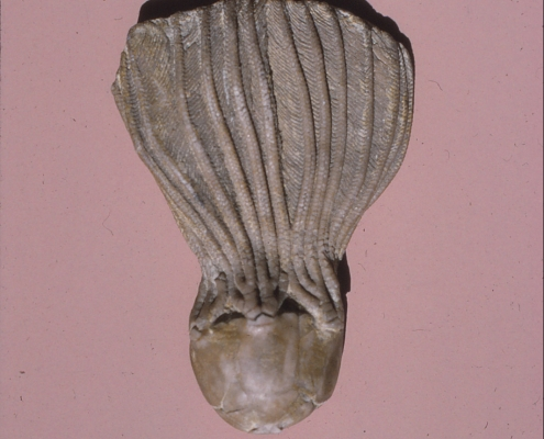 A brownish crinoid fossil against a mauve background