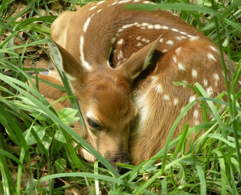 Baby fawn curls up for a nap amidst green grass.