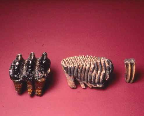 Mastodon(left) and mammoth(right) teeth