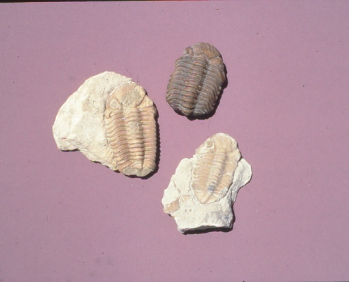 Three trilobite fossils